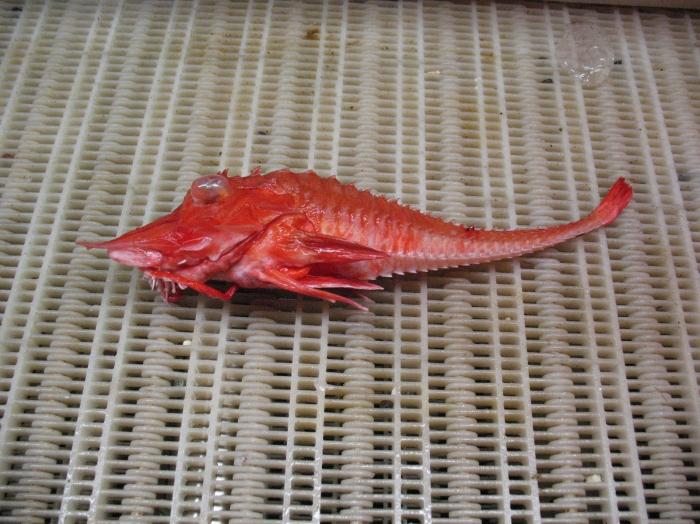 Peristedion miniatum