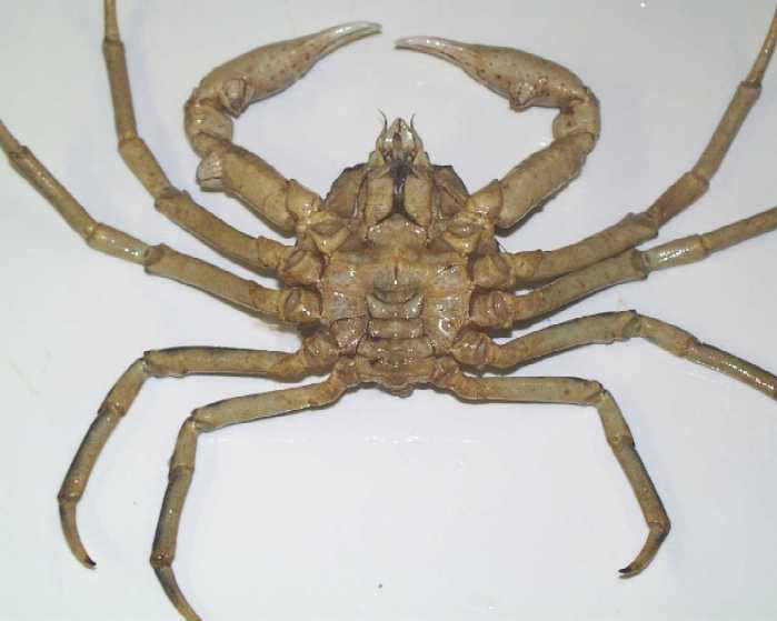 Hyas araneus