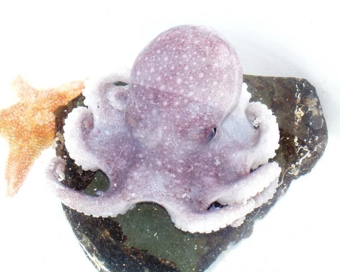 Octopodidae