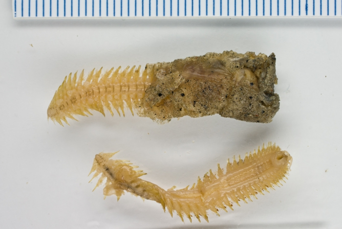 Arcteobia anticostiensis (with case)