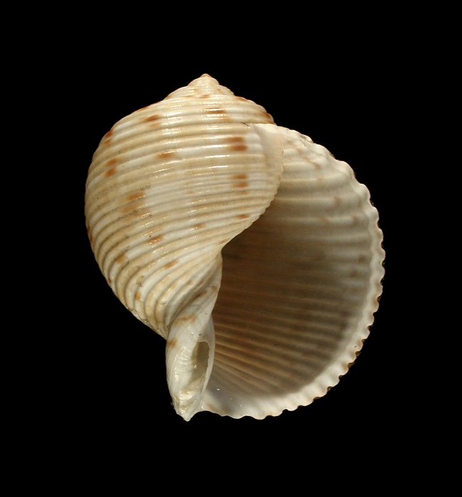 Paratype 1 (apertural)