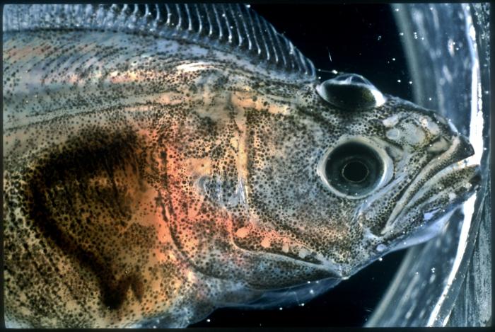 Hippoglossus hippoglossus - juvenile