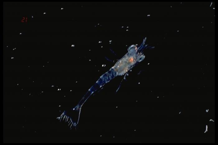 Pandalus borealis - larva