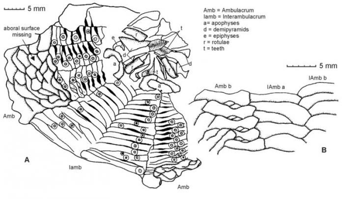 Retzneiosoma jaseneki