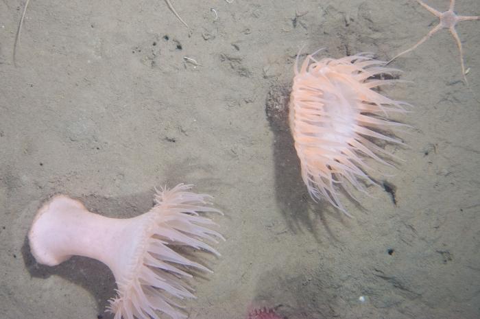 Actinostola callosa - pair underwater
