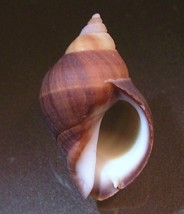 Acanthina unicornis