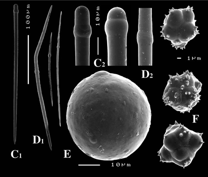 Paratimea globastrella spicules