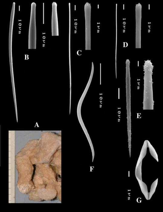 Clathria (Thalysias) hermicola holotype