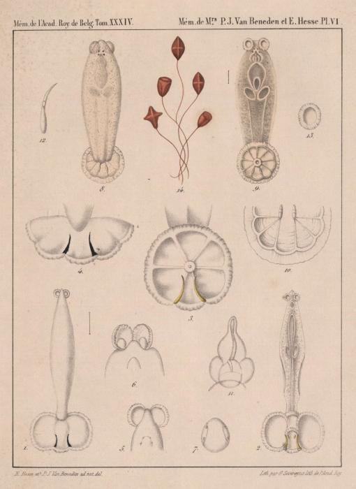 Van Beneden & Hesse (1864, pl. 06)