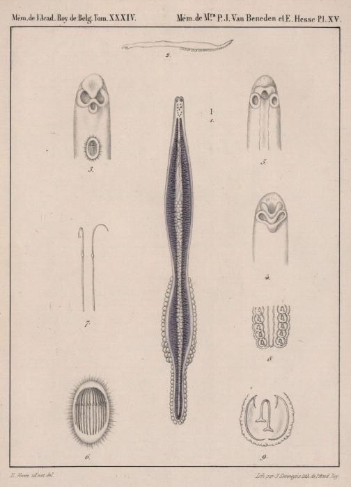 Van Beneden & Hesse (1864, pl. 15)