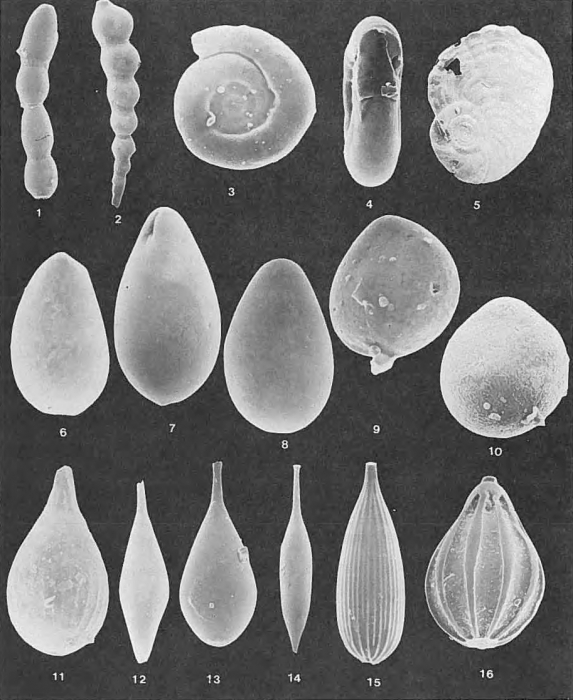 Foraminifera - Plate 5 - Fischerinidae, Nodosariidae, Glandulinidae