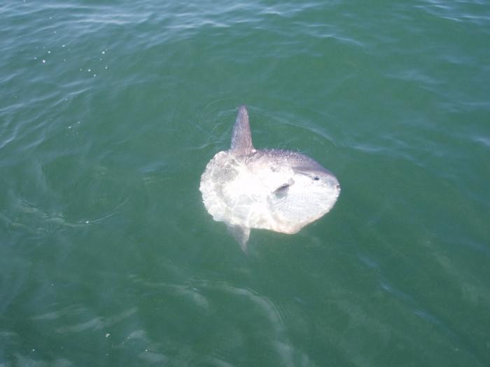 Maanvis  - Mola mola