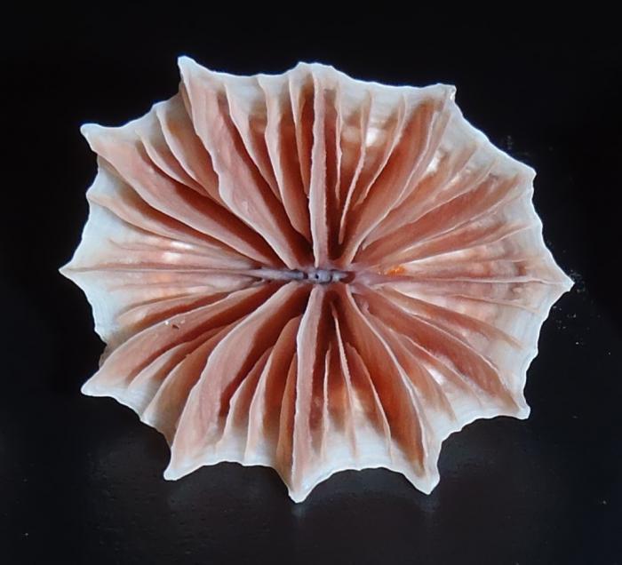 Flabellum angulare