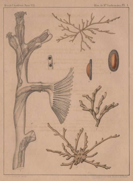 Van Beneden (1848, pl. 1)