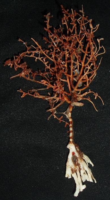 Acanella arbuscula
