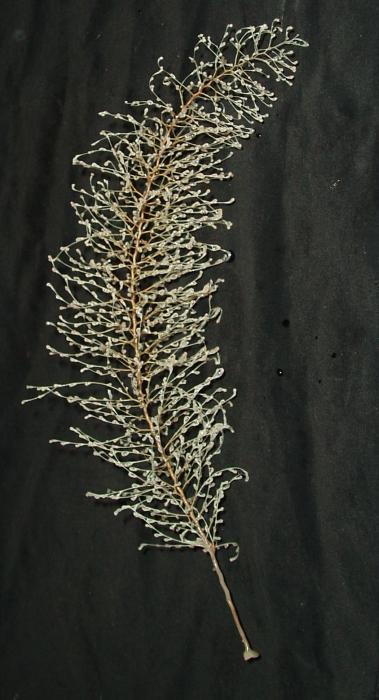 Chrysogorgia