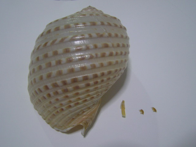 Shell periostracum, animal radula string and jaws