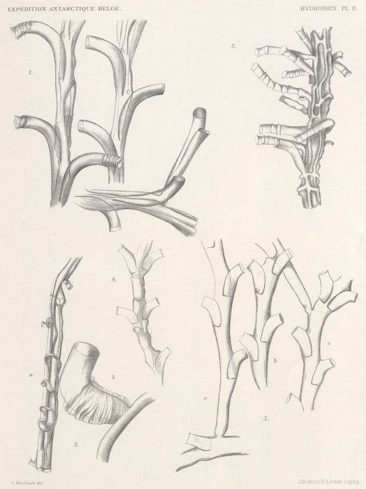 Hartlaub (1904, tafel 2)