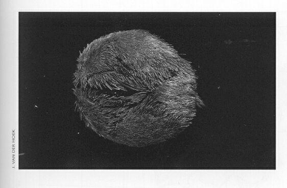 Picture of Echinocardium cordatum