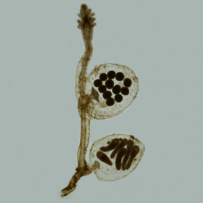 Cordylophora caspia - female gonophore
