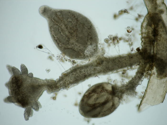 Cordylophora caspia - detail