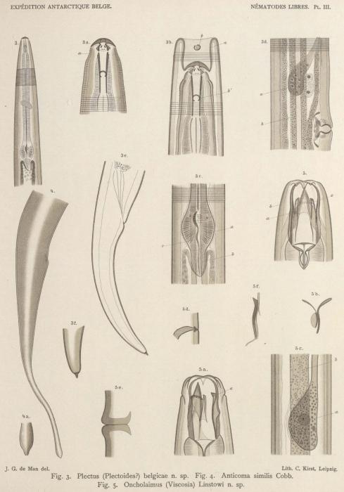 De Man (1904, pl. 03)
