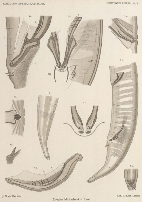 De Man (1904, pl. 05)