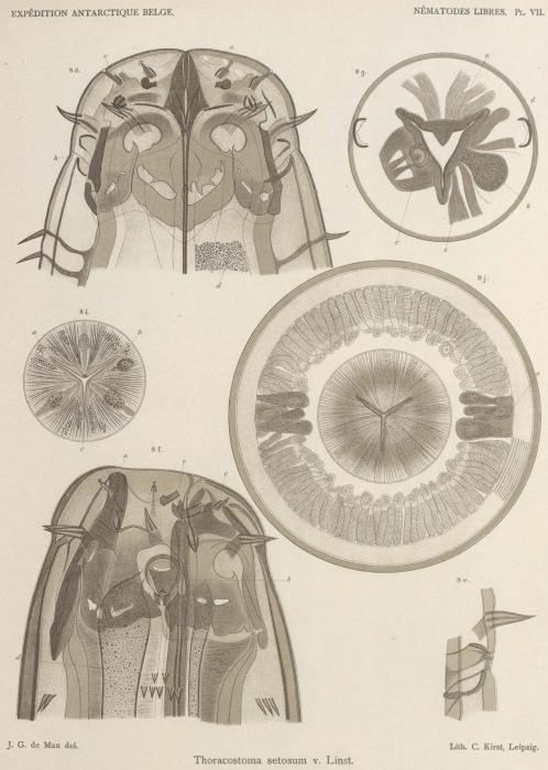 De Man (1904, pl. 07)