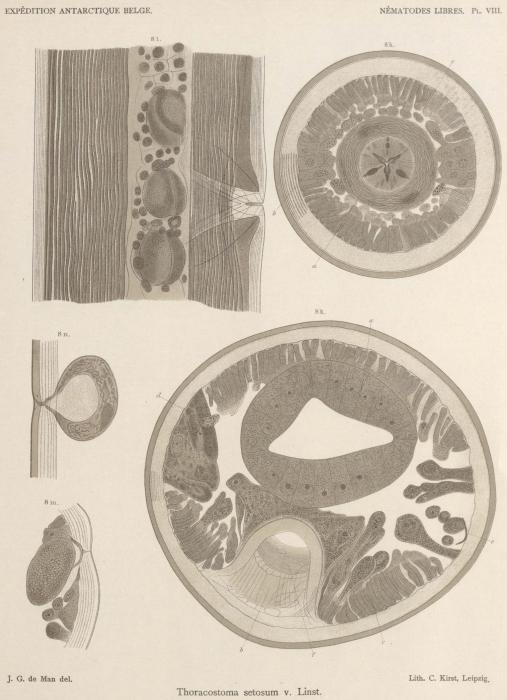 De Man (1904, pl. 08)