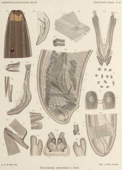 De Man (1904, pl. 11)