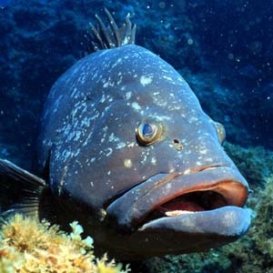 Dusky grouper in Corvo Island voluntary marine protected area.