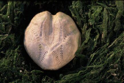 Picture of Echinocardium cordatum (Pennant, 1777)