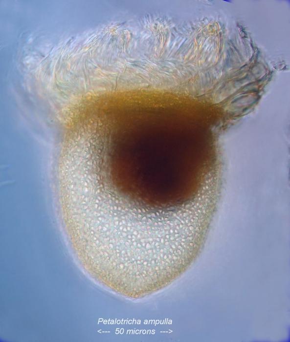 Petalotricha ampulla
