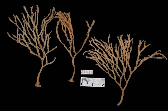 Asbestopluma desmophora