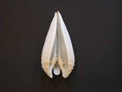 Picture of Barnea candida (Linnaeus, 1758)