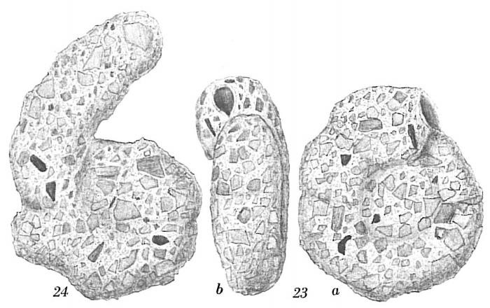 Ammoscalaria runiana