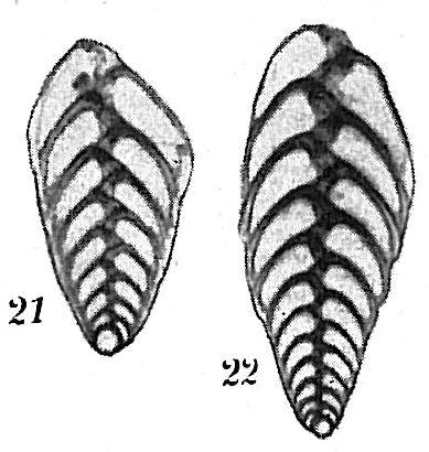 Bolivina spathulata
