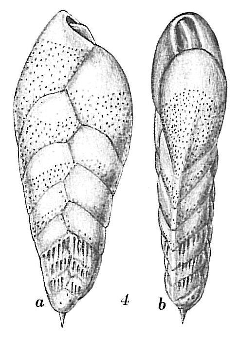 Bolivina striatula