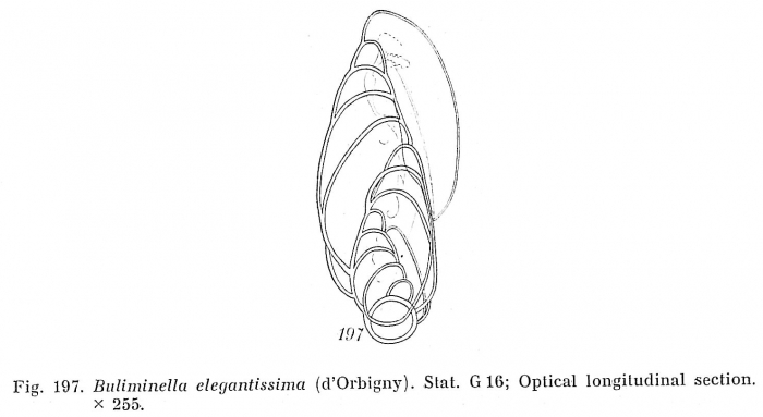 Buliminella elegantissima