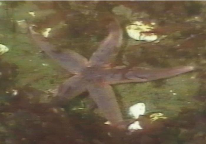 Asterias rubens and Mya arenaria shells in 15 m water depths.