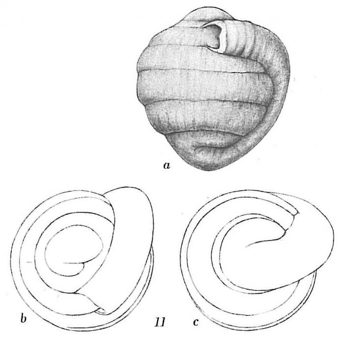 Glomospira charoides