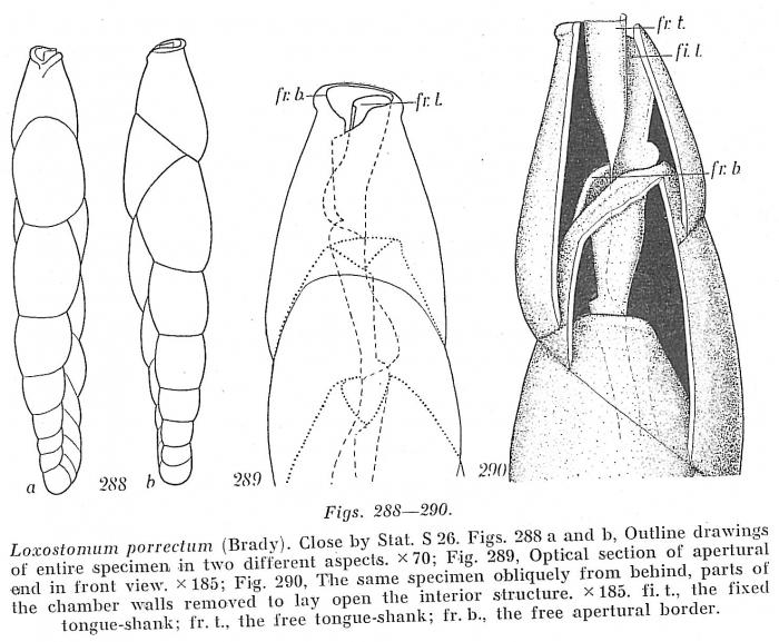 Loxostomum porrectum
