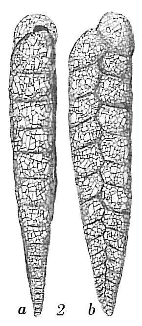 Textularia gracillima