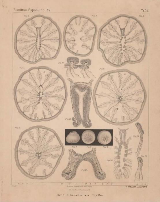 Van Beneden (1897, pl. 02)