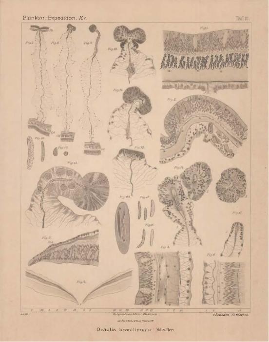 Van Beneden (1897, pl. 03)