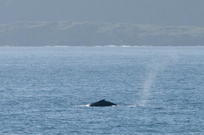 Humpback whale - dorsal fin