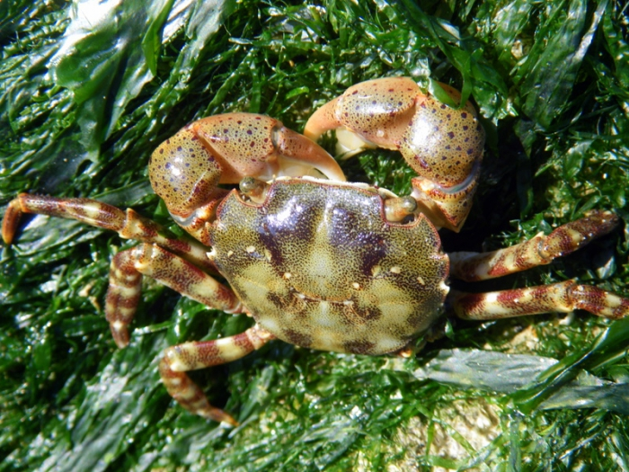 Hemigrapsus sanguineus