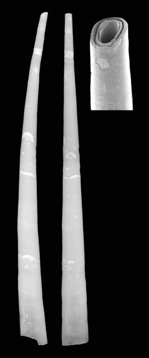 Laevidentalium abyplaine Scarabino & Scarabino, 2011. Holotype MNHN 24331