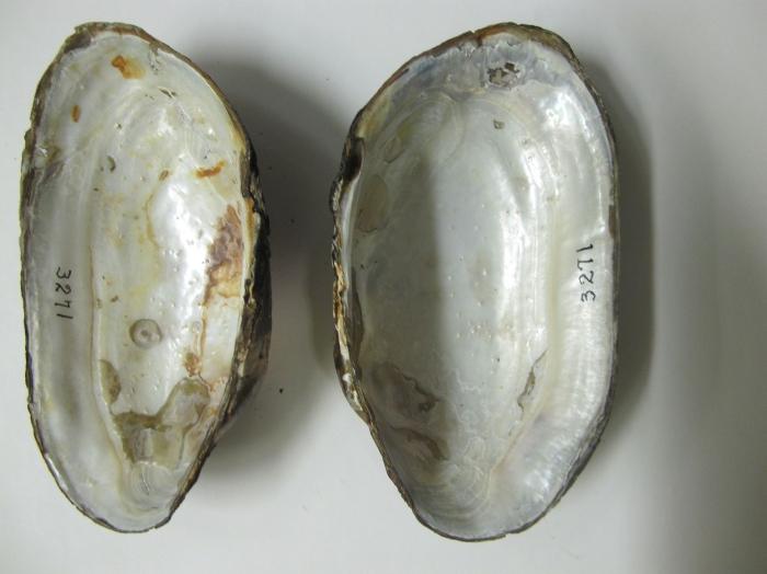 Anodonta grandis