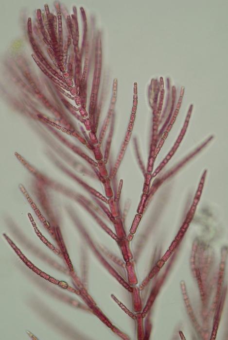 Antithamnionella ternifolia